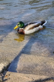 Fotografie Wild Duck in water