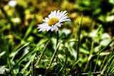 Bellis perennis in the grass