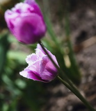 Photo Two violet tulips