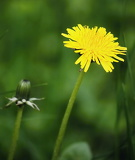 The growth of dandelions
