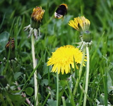 A bumblebee flies from one to another dandelion
