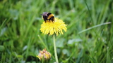 A bumblebee pollinating a dandelion