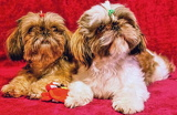 Photo A pair of Shi-tzu