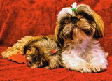 A pair of Shi-tzu