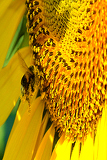 Fotografie Sunflower is that pollinate bumblebee