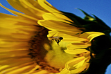 Fotografie Flying a Bee on sunflower