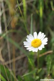 meadow flower - ox-eye-daisy