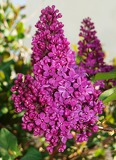 Photo flower of lilac