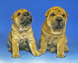 two Sharpei puppy