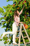 Fotografie Cherry tree harvest summer woman climb ladder
