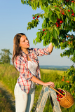 Fotografie Cherry tree harvest summer woman sunny countryside