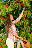 Fotografia Cherry tree harvest summer woman stand ladder