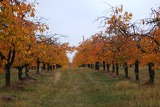 cherry orchard in late autumn