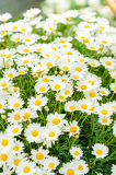 Photo Daisy white flower bouquet