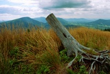 Fotografia Uprooted stump with roots on slope Bald Mountain in the Beskids.