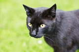 Photo black cat with pigmented skrvrnou shaped hearts in one eye.