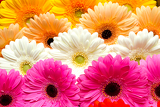 Photo beautiful gerbera