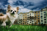 Fotografia chihuahua dog in a housing estate