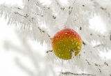 Fotografia snowy apple