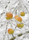 Fotografia snowy apples