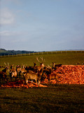 Photo fallow-deer fooding in sanctuary