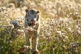 Fotografia tiger among flowers