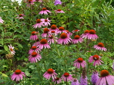 Fotografie A large number of Echinacea flowers