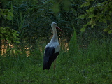 Fotografie stork in the pond in the park