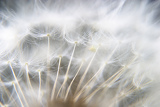 detail of dandelion