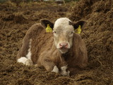 calf resting in the hay