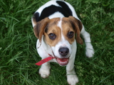 Photo tricolor beagle