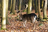 Photo Fallow deer