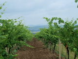 vineyard landscape in the background. South Moravia