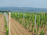 new vineyard landscape in the background. South Moravia