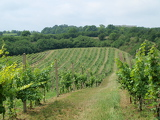new vineyards