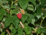 ripening raspberries among green leaves