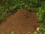 anthill in the summer forest