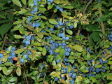 blue berries on the blackthorn bush
