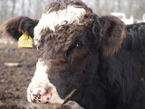 Photo head brown-white cows