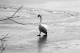 Fotografia Swan is the frozen lake