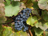 Fotografie Red wine grapes on the vine