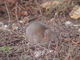 Little Shrew (mouse) is captured in less withered grass.