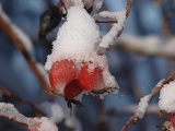 snowy berries rosehip bushes