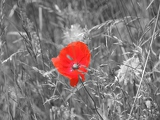 Fényképek A closeup of a red poppy on a black and white background