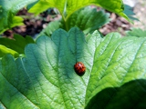 Ladybug on a leaf of Strawberry