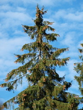 tall pine trees with blue sky