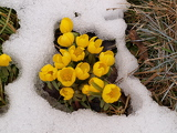 snow and spring flowers