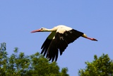 Fotografie Summer. Stork flying over the trees.