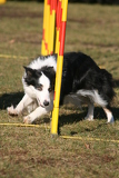 dog border colie and agility