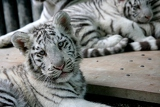 Photo White tiger 4 months